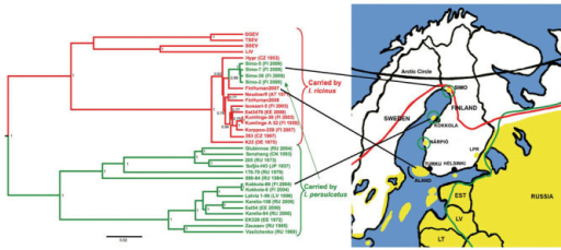 A1. Phylogenetic tree of partial E (1172-nt) gene sequences, shwoing Ixodes ricinus–transmitted strains (red) and I. persulcatus–transmitted strains (green). The tree was reconstructed by the Bayesian Markov chain Monte Carlo method in BEAST (http://beast.bio.ed.ac.uk). Maximum clade credibility tree with an arbitrary root is shown with mean branch lengths, and Bayesian posterior probabilities are given at nodes when >0.7. Country of origin and isolation year are indicated. Four strains from Simo are shown; Simo-48 and Simo-9 were identical to Simo-38. Yellow shading, tick-borne encephalitis–endemic areas; red line, I. ricinus distribution; green line, I. persulcatus distribution; LPR, Lappeenranta. Scale bar indicates number of substitutions per site.