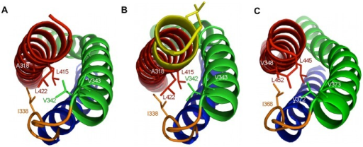 Interactions formed by the C-terminus of utrophin and dystrophin spectrin repeat one domains.Structural representations of A) Utr-SR1, B) Utr-SR1-L and C) Dys-SR1 showing the burial of hydrophobic sidechains (stick representation) on the B helix (green) and A–B loop (orange) by the C-terminus of helix C (red). The A helix is coloured blue. The extended Utr-SR1-L C-terminus and sidechains of the SR2 heptad repeat (L427, L430) are coloured yellow. The protein main-chain is depicted in ribbon representation with key side-chains shown as sticks.