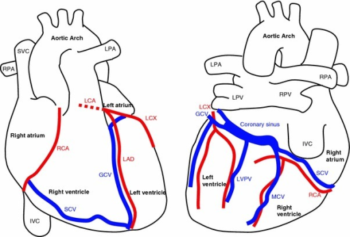 anatomy of the heart and major coronary vessels in ante. Black Bedroom Furniture Sets. Home Design Ideas
