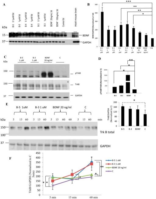 (A) BDNF peptides B-5, B-4 and B-3 induce the expression of BDNF.Western blot analyses of cells treated with peptides B-5, B-4 and B-3, or with BDNF, or vehicle for 5 days, showed an increase in BDNF expression in cells treated with the peptides. A sample of adult mouse brain was included as a control for the migration of the bands corresponding to pro-BDNF and BDNF. (B) Densitometric quantitation of the Western blots developed with anti-BDNF. Data was normalized to GAPDH as loading control and then to 5 days control vehicle treated cells, C 5d. (C) Peptides B-5 and B-3 activated TrkB receptor in primary E18 hippocampal cells. Western blots showing phosphorylation of TrkB at Tyr 706 on treatment with Peptide B-5 (1 µM), Peptide B-3 (1 µM) or BDNF (20 ng/ml, 0.79 nM) for 1 h as compared to control treated cells, C. Lower blots show the levels of TrkB receptor and the levels of GAPDH as a loading control. (D) Densitometric analysis of the Western-blots for pTrkB normalized to TrkB, and TrkB normalized to GAPDH. Control was taken as 100 percent in each case. (E) BDNF peptides (B-5 and B-3) increased the expression of TrkB. Increase in expression of TrkB in TrkB stably-expressing NIH-3T3 fibroblast cells, as a function of time. Cells were treated for 5, 15 or 60 min with B-5 (1 µM), B-3 (1 µM), BDNF (20 ng/ml), or vehicle only (Control, C). Western blots of total TrkB, and GAPDH included as a loading control. (F) Densitometric quantitation of the Western blots for TrkB normalized to GAPDH. Data are shown as mean ± standard deviation, n = 3. *p<0.05, **p<0.01, ***p<0.001. One-way ANOVA/post-hoc test/Student's t test. Dashed line in (D) denotes that B-5 induction of TrkB expression almost approaches significance (p = 0.057, one-way ANOVA).