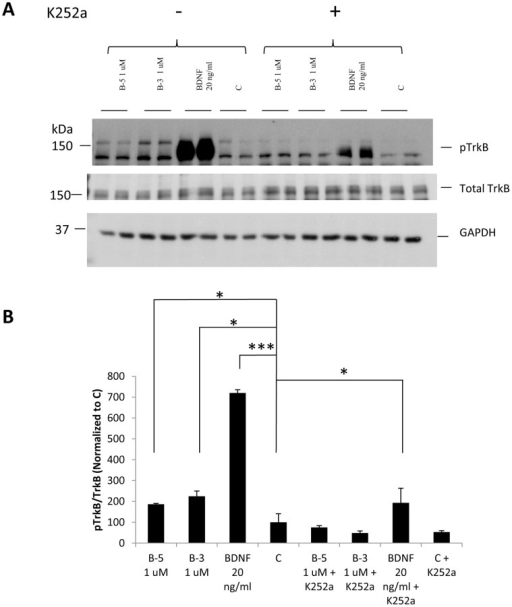 Activation of the TrkB receptor by BDNF peptides B-5 and B-3 can be blocked by the TrkB inhibitor, K252a.(A) Cells were pretreated with or without K252a for 1 h and then exposed to Peptide B-5 or Peptide B-3 at 1 µM or 20 ng/ml BDNF for 5 min. Western blots of pTrkB (Tyr 706), total TrkB and GAPDH included as loading control. (B) Densitometric quantitation of the Western-blots for pTrkB normalized to TrkB. Data are shown as mean ± standard deviation, n = 3. *p<0.05,**p<0.01, ***p<0.001. One-way ANOVA/post-hoc test/Student's t-test.