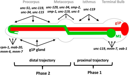 Model for M1 axon guidance. M1 is shown in green and g1P is shown in red. M1 development is divided into two steps. During phase 1, M1 builds its proximal trajectory independent of genes affecting growth cones. In phase 2, M1 builds its distal trajectory, which is affected in growth cone–defective mutants and loss of the g1P cell. The regions where M1 axon phenotypes occur are shown for each gene. These genes are categorized in groups, which act in metacorpus, procorpus, and or at the anterior pharyngeal tip, where the axon terminates. The unc-119 (which also acts for distal extension), mnm-7, and vab-1 are necessary for preventing ectopic branching in the isthmus or terminal bulb, rather than axon extension in those regions.
