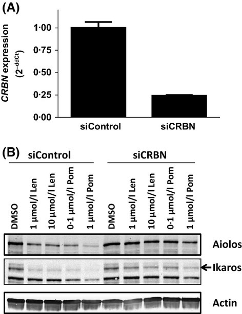 Aiolos and Ikaros degradation by lenalidomide and pomalidomide is Cereblon-dependent. (A) Primary human CD3+ T cells were transfected with control siRNA or CRBN siRNA for 48 h and CRBN knockdown efficiency was measured 24 h post-transfection by qRT-PCR. (B) CRBN siRNA knockdown T cells were treated with lenalidomide or pomalidomide at the indicated concentrations for 24 h. Cell lysates were separated by SDS-PAGE and immunoblotted for Aiolos, Ikaros and Actin expression. Len, lenalidomide; Pom, pomalidomide; CRBN, Cereblon gene; siCRBN, CRBN siRNA; SDS-PAGE, sodium dodecyl sulphate polyacrylamide gel electrophoresis.