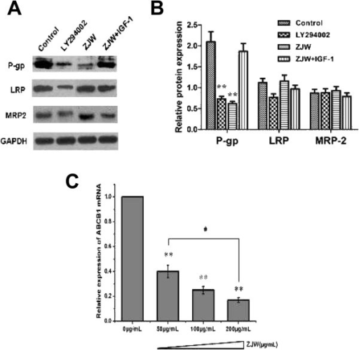 ZJW inhibits P-gp expression and the effect of the PI3K/Akt pathway. (A) Western blotting assay was carried out to detect the level of P-gp, LRP, and MRP-2 in HCT116/L-OHP cells treated with LY294002 (20 μM, 2 h), ZJW (50 μg/mL, 48 h), and a combination of ZJW (50 μg/mL, 48 h) and IGF-1 (100 ng/mL, 48 h). GAPDH was used to ensure equal loading of proteins in each lane. (B) Blots were photographed and quantitated; the data are from three independent experiments. (C) Real-time PCR was performed to detect ABCB1 mRNA in vivo. Quantification of ABCB1 mRNA was performed by assigning a value of 1 to the control group treatment with ZJW (50 μg/mL). Statistical difference was analyzed by student's t-test, **P < 0.01 vs. control group; #P < 0.05 vs. ZJW (50 μg/mL) group. This is a representative result of three experiments with similar results.