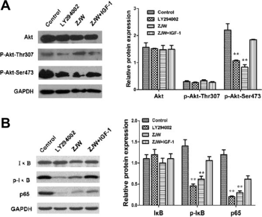 ZJW suppresses P-gp mediated MDR by inhibiting activation of Akt (Ser473)/IκB phosphorylation (Ser473)in vitro. (A&B) Western blotting assay was carried out to detect the level of Akt, phosphorylation of Akt (Thr307/Ser473), IκB, p65, and phosphorylation of IκB in HCT116/L-OHP cells treated with LY294002 (20 μM, 2 h), ZJW (50 μg/mL, 48 h), and a combination of ZJW (50 μg/mL, 48 h) and IGF-1 (100 ng/mL, 48 h). GAPDH was used to ensure equal loading of proteins in each lane. Data are means ± SD of values from triplicate experiments. **P < 0.01 vs. control group.
