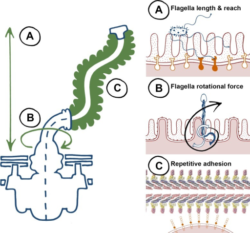 "The biophysical properties of flagella, to ""twist and stick,"" lend themselves towards nonspecific adhesion.Left, a summary of key characteristics of the flagella apparatus that are advantageous for adherence, and right, specific properties highlighted on the left. (A) Flagellum length results in a long reach towards colonization surfaces as an early-stage anchor—higher affinity binding can occur at closer proximity with specific adhesins and receptors. (B) Flagella rotation generates force that promotes membrane interactions during initial adherence. (C) Flagella are highly repetitive structures, non-specific low affinity binding can result in adhesion at high avidities."