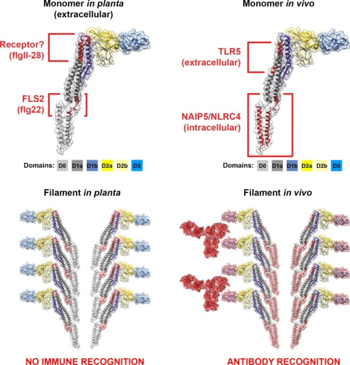 "Cross-kingdom immune recognition of flagellin structures.Top: backbone of the key residues of flagellin recognized by plant (left) and animal (right) innate immune receptors are highlighted in red. FliC from S. enterica is presented as a ""model"" flagellin, with reports for recognition by both TLR5 and FLS2 receptors. These residues are superimposed on the solved flagellin structure (PDB# 1UCU) in UCSF Chimera [113]. Surfaces and backbone are coloured according to previously assigned structural domains as indicated below each monomer [57]. Bottom: recognition of flagella filaments by plant (left) and animal (right) innate immune receptors does not occur as key residues (surfaces highlighted in red) are hidden within the filament structure. However, immune recognition still occurs in animals via antibody recognition of the D3 domain."