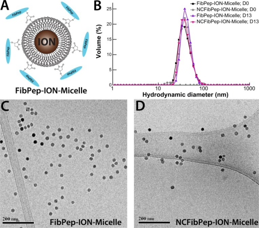FibPep-ION-Micelle nanoplatform.(A) Schematic representation of the FibPep-ION-Micelle nanoplatform. Reproduced from Starmans and coworkers [10]. (B) Volume-weighted size-distribution profiles of the FibPep-ION-Micelles and NCFibPep-ION-Micelles at the day of synthesis (D0) and at the final day of the in vivo experiments (13 days post synthesis, D13). (C, D) Representative cryo-TEM images of (C) FibPep-ION-Micelles and (D) NCFibPep-ION-Micelles.