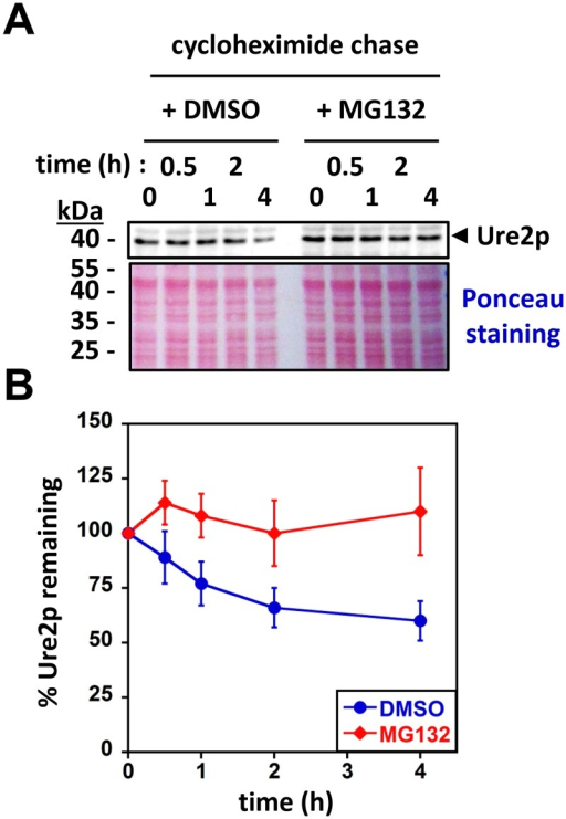 Soluble Ure2p is a proteasomal substrate in vivo.(A) Yeast cells overexpressing Ure2p (see Materials and Methods) were grown to mid-log phase and then treated with DMSO or MG132 (50 μM) for 30 min at 30°C. Protein expression was shut off by the addition of cycloheximide (100 μg.ml-1), and aliquots were withdrawn at the times indicated (in hours). Cell extracts were prepared and analyzed by SDS-PAGE followed by Western blotting using anti-Ure2p antibodies (upper panel) or Ponceau staining (lower panel). (B) Quantification of western blots such as those shown in (A) was performed using ImageJ. The amount of Ure2p at time zero was set to 100% (data points represent the mean ± SE of independent experiments performed in triplicate).
