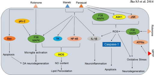 p38 MAPK interactions involved in Parkinson's disease neuropathology and associated neurodegeneration. Neurotoxins viz. rotenone, maneb, paraquat and MPTP evokes numerous detrimental phenotypes in degenerating neurons and p38 MAPK is responsible for microglia activation, induction of oxidative stress, apoptosis, neuroinflammation and neurodegeneration as triggered by these toxins