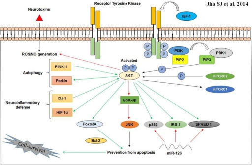Neuroprotective cross-talk involving the cytoprotective PI3K/AKT pathway. AKT when optimally activated by phosphorylation at serine and threonine residues, can interact with a spectrum of molecules to erect an anti- inflammatory (DJ-1 and HIF-1α) and anti- apoptotic (Bcl-2) ambience in vulnerable neurons. In addition, phosphorylated AKT can also promote autophagy via PINK-1 and Parkin. IRS-1 activation takes place via IGF-1/AKT cascade and other AKT targets including p85β and SPRED 1 are known to be downregulated by miR-126 in PD neurons. Activation (green arrows); prevention or suppression (red arrows