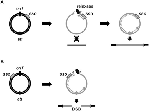 Model of ICE integration with an sso downstream (A) and upstream (B) of oriT.For all ICEs, excision from the chromosome yields a dsDNA circle (concentric black circles) with an origin of transfer (oriT, black slash mark) and the attachment site, att (filled diamond). Prior to conjugation, relaxase (black oval) nicks at oriT and covalently attaches to the 5' end. The relaxase, attached to ssDNA (gray solid line) containing the sso (gray rectangle), is transferred to recipients. In the transconjugant, the relaxase catalyzes strand ligation and formation of a ssDNA circle [reviewed in 21]. Based on known mechanisms of site-specific recombination, the att site must be double-stranded in order for the ICE to integrate into the recipient chromosome (parallel black lines). If the att site becomes dsDNA before the nicked DNA is recircularized, and if this incomplete ICE were to integrate into the chromosome, then a double strand break in the chromosome would be created. (A) The sso in an ICE is downstream from oriT. Second strand synthesis (dotted gray line) cannot proceed through oriT until the linear DNA becomes circularized. Once the att site in ICE becomes double-stranded, site-specific recombination into the chromosome can occur, and the product will be a fully integrated element with an intact genome. B) The sso in an ICE is upstream from oriT. Second strand synthesis (gray dotted line) can occur on the linear DNA, and it is possible that the att site becomes double-stranded before the ICE circularizes. If this form of ICE is capable of undergoing site-specific recombination, then integration of this linear dsDNA into the chromosome will yield a double-stranded break (DSB).