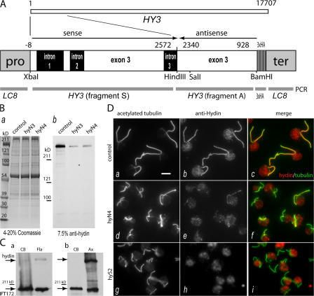 HY3 gene-silencing vector and anti-hydin antibody. (A) C. reinhardtii HY3, which encodes hydin, is a gene of 17.7 kb. Fragment A, corresponding to exon 3 of HY3, and a BamHI–SalI piece of fragment A were cloned into bacterial expression vectors, and the fusion proteins were used for antibody production and purification. A gene-silencing vector was constructed from fragment A, fragment S (another PCR product of HY3), a triple HA tag, and the promoter and terminator region of the LC8 gene. (B) Coomassie-stained gel (a; 4–20% SDS-PAGE) and Western blot (b; 7.5% SDS-PAGE) of isolated axonemes of CC3395 (control) and the HY3 RNAi strains hyN3 and hyN4. Anti-hydin specifically stained a band of ∼540 kD that was strongly reduced in the HY3 RNAi strains. (C) Western blots probed with anti-hydin and anti-IFT172 (Cole et al., 1998) comparing the amount of hydin present in deflagellated cells (CB) and isolated flagella (Fla) or axonemes (Ax). (a) Equivalent numbers of cell bodies and flagellar pairs from ∼106 cells were loaded. (b) Equal amounts (∼25 μg) of cell body and axonemal protein were loaded. IFT172, an intraflagellar transport protein used as a control, is present in the cell body and flagella; a considerable amount remains with the axonemes (Hou et al., 2004). (D) Immunofluorescence images of methanol-fixed cells of strains CC3395 (control), hyN4, and hyS2 labeled with anti-acetylated tubulin (a, d, and g) and anti-hydin (b, e, and h). Merged images (c, f, and i) reveal the localization of hydin to the flagella of wild-type cells and the reduction of hydin in the hydin RNAi cells. Note the shorter flagella in the latter. At least part of the fluorescence in the cell bodies stained with anti-hydin is background caused by chlorophyll autofluorescence. Bar, 5 μm.