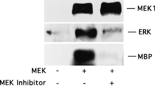 Stimulation of COS-7 cell migration after transfection with mutationally activated MEK1. (A, upper panel) COS-7 cells were  serum starved for 18 h and allowed to migrate for 3 h on collagen-coated membranes after transient transfection with either the empty  expression vector (pcDNA-3, control) or the expression vector containing the mutationally activated MEK1 (MEK+) as described in  Materials and Methods. In both cases, cells were cotransfected with a β-galactosidase–containing vector (pSV–β-galactosidase) for in  situ β-galactosidase staining with X-gal and a myc-tagged ERK1 reporter construct as described in Materials and Methods. This facilitated enumeration of only those migratory cells that had been positively transfected. In either case, transfection efficiency was routinely  30–40%. Alternatively, control transfectants were allowed to migrate in the presence of EGF (100 ng/ml) and then enumerated by  counting cells on the underside of the migration chamber using an Olympus (BX60) inverted microscope. Cells per high-powered (40×)  field were counted blindly by two observers. Each bar represents the mean ± SD of triplicate migration wells of an independent experiment. (Lower panel) Detergent lysates from cells treated as above were either directly immunoblotted for MEK protein expression using  rabbit anti-MEK or subjected to immunoprecipitation using anti-ERK followed by immunoblotting with antiphosphotyrosine as described in Materials and Methods. In addition, these immunoprecipitates were analyzed for MAP kinase activity using an in vitro kinase  assay and the substrate MBP as described in Materials and Methods. The result shown is a representative experiment from at least three independent experiments. (B, upper panel) COS-7 cells treated as described in A were allowed to migrate in the presence or absence of  the MEK inhibitor (25 μM, PD98059) for 2–4 h and then stained and quantitated as described above. (Lower panel) Detergent lysates  from these cells were examined for expression of MEK, ERK phosphorylation, and kinase activity using MBP as a substrate as described above.