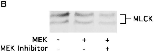 MAP kinase activity is associated with increased phosphorylation of  MLCK. (A) MLCK was immunoprecipitated from an aliquot of COS-7 cell lysates described in Fig. 3 and resolved  by SDS-PAGE and autoradiography or (B) Western blotted with an MLCK-specific  antibody. The phosphorylated  proteins of ∼160 and 200 kD  represent MLCK isoforms present in COS-7 cells, whereas the 97-kD protein may represent a break down product of MLCK. The result  shown is a representative experiment from at least three independent experiments.
