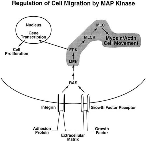 Model depicting role of MAP kinase in cell migration.  Proposed signaling pathway leading from integrin or growth factor receptor ligation to activation of cell migration. This model  takes into account that MAP kinase can be activated by integrins  and/or growth factors. As shown in this study, once activated,  MAP kinase can phosphorylate MLCK, which in turn shows enhanced activity as measured by its ability to phosphorylate MLC.  This model assumes that this phosphorylated MLC regulates the  cell's actin-myosin motor function, thereby facilitating contraction leading to cell movement on the extracellular matrix.