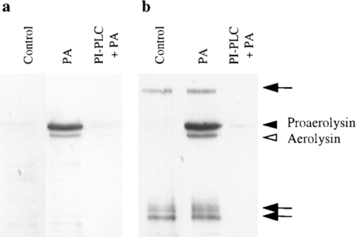 PI-PLC inhibits the binding of proaerolysin to BHK  cells. Cells were incubated with or without 6 U/ml of PI-PLC for  1 h at 37°C in the presence of 10 μg/ml cycloheximide. The cells  were then incubated in presence or absence of 2 nM proaerolysin  for 1 h at 4°C, thoroughly washed, and homogenized. (a) The  PNSs were probed for the presence of proaerolysin by Western  blotting. (b) The PNSs were analyzed by proaerolysin overlay for  the presence of proaerolysin binding proteins. Lane 1, control  cells; lanes 2, proaerolysin-treated cells; lane 3, PI-PLC and proaerolysin-treated cells. Arrowheads indicate proaerolysin and aerolysin (that were bound to the plasma membrane) migrating at their  expected molecular weights. Arrows indicate proaerolysin that  bound to specific proteins on the nitrocellulose membrane.