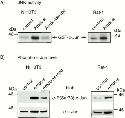 Endogenous JNK is constitutively activated in AdoMetDC-overexpressing NIH3T3 and Rat-1 cells, resulting in increased phosphorylation of c-Jun at Ser73. (A) The JNKs were purified by virtue of their binding to agarose-conjugated GST-c-Jun. The autoradiograms show the phosphorylation status of GST-c-Jun used as the substrate in the solid-phase kinase assays. (B) Western blots from the nuclear extracts show a strong phosphorylation of c-Jun at Ser73 in AdoMetDC transformants. The bottom rows show the total amount of c-Jun in nuclear extracts. The levels of JunD and ATF-2 remained constant and were used as loading controls (data not shown).