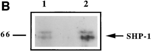 (A) Protein tyrosine  phosphorylation stimulated by  treatment of monocytes with the  anti-HLA-DR mAb 3.8B1 is inhibited by co-ligation of HLADR with ILT3. Monocytes were  incubated with medium alone  (lane 1), with ZM3.8 mAb (antiILT3; lane 2), with 3.8B1 mAb  (anti-HLA-DR; lane 3) or with  both mAbs in the absence (lane  4) or in the presence (lane 5) of a  secondary cross-linking antibody. Cell lysates were separated on SDS-PAGE, transferred to nitrocellulose, and  probed with HRP-coupled antiphosphotyrosine mAb 4G10.  (B) Association of SHP-1 with  ILT3 is increased upon ILT3  cross-linking. Monocytes were  stimulated with ZM3.8 (lane 2)  or with a control IgG (5.133  mAb) (lane 1) coated on plastic  plates. Cells were kept at 37°C for 2 min, harvested, and lysed. ILT3 was  immunoprecipitated with ZM3.8. Proteins were separated on SDSPAGE, transferred to nitrocellulose, and probed with anti-SHP-1, followed by HRP-conjugated goat anti–rabbit Ig. The migration of SHP-1  is marked by the arrow.