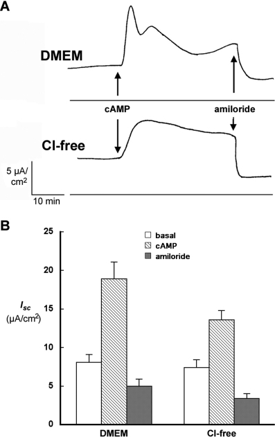 Effect of Cl− on the response of short-circuit current (Isc) to cAMP stimulation. (A) Time course of Isc response to cAMP treatment in DMEM and chloride-free medium. Isc was measured across monolayers of αFβFγF MDCK cells induced overnight with 2 mM butyrate and 1 μM dexamethasone. A mixture of 20 μM CPT-cAMP and 200 μM IBMX was added at the time indicated, followed by 20 μM amiloride. (B) Average Isc in experiments described in A. Six experiments were conducted in DMEM and 20 in chloride-free medium. Basal Isc was measured just before, and the cAMP Isc just after the addition of 20 μM CPT-cAMP plus 200 μM IBMX, at the point of maximal response, 5–10 min in DMEM and 10–20 min in chloride-free medium. The final measurement was made 1–3 min after the addition of 20 μM amiloride.