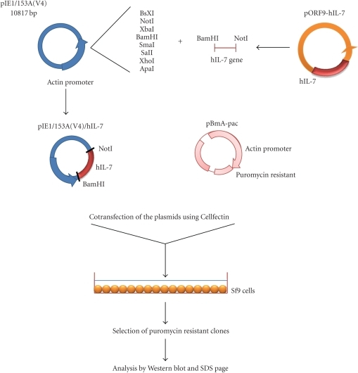 Construction of the pIE1/153A (V4) expression plasmid carrying the hIL-7 gene. The hIL-7 gene from pORF9-hIL07 vector was inserted in pIE1/153A(V4) expression plasmid, pIE1/153A(V4)/hIL-7 and pBmA-pac were cotransfected into Sf9 cells. Clones producing hIL-7 were selected using puromycin and analyzed by western blot and SDS page.