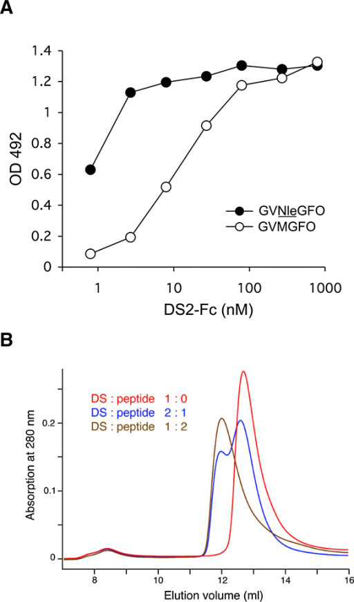 Collagen Peptide Binding by the DDR2 DS Domain(A) Solid-phase binding assay with recombinant DS2-Fc protein (Leitinger, 2003) added to 96-well plates coated with triple-helical collagen peptides at 10 μg/ml: GPC-(GPP)5-GPRGQOGVXGFO-(GPP)5-GPC-NH2, where X is either methionine or norleucine. Shown is a representative of three independent experiments, each performed in duplicate.(B) Analytical size exclusion chromatograms of the free DDR2 DS domain and its complex with the triple-helical collagen peptide Ac-GPOGPOGPOGPR-GQOGVNleGFOGPOGPOG-NH2. The DS domain and peptide were mixed in the indicated molar ratios. A globular molecular mass standard of 29 kDa, carbonic anhydrase, elutes at 12.3 ml from this column.