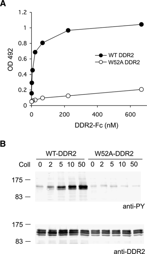 Essential Role of Trp52 in DDR2 Function(A) Solid-phase binding assay with recombinant wild-type or W52A DDR2-Fc proteins added for 3 hr at room temperature to 96-well plates coated with either collagen I or BSA. Shown is a representative of three independent experiments, each performed in duplicate.(B) Full-length wild-type or W52A DDR2 was transiently expressed in HEK293 cells. After stimulation for 90 min with collagen I (Coll), aliquots of cell lysates were analyzed by SDS-PAGE and Western blotting. The blots were probed with anti-phosphotyrosine (anti-PY) monoclonal antibody 4G10 (upper blot) or polyclonal anti-DDR2 antibodies (lower panel). The positions of molecular markers (in kilodaltons) are indicated. Collagen I was used at different concentrations as indicated (in μg/ml). The experiment was performed three times with very similar results.