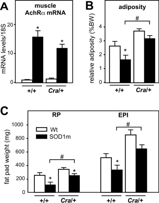 Dynein mutation increased adipose stores in early symptomatic SOD1(G93A) mice. A- mRNA levels of alpha subunit of the nicotinic acetylcholine receptor (AchRα) in gastrocnemius muscles of wild type (+/+) and dynein mutant mice (Cra/+) bearing SOD1(G93A) transgene (SOD1m, black columns) or not (Wt, empty columns) *P < 0.05 versus Wt. mRNA levels were standardized using 18S ribosomal RNA as a control. N = 9 mice per group. B-C- Relative weight of epididimary (EPI) and retroperitoneal (RP) white adipose tissue fat pad with regard to body weight (B). The panel C shows absolute weight (in mg) of EPI and RP in the same mice than in A. *P < 0.05 versus Wt; #, p < 0.05 as indicated. N = 9 mice per group.