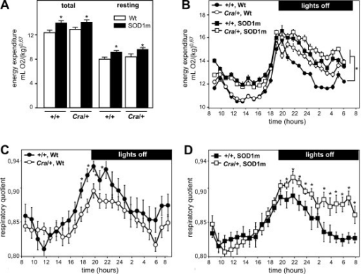 Dynein mutation does not decrease global hypermetabolism but shifts energy metabolism of SOD1(G93A) mice towards carbohydrate use. A- Total (left panel) and resting (right panel) energy expenditure of wild type (+/+) and dynein mutant mice (Cra/+) bearing SOD1(G93A) transgene (SOD1m, black columns) or not (Wt, empty columns) *P < 0.05 versus Wt. Note that SOD1(G93A) mice are hypermetabolic and that the dynein mutant genotype has no effect on this hypermetabolism. N = 9 mice per group. B- Energy expenditure of the same mice than in A as a function of time. Mice bearing a Cra dynein mutation are denoted by empty symbols, and their corresponding controls by a filled symbol. Mice bearing a SOD1(G93A) (SOD1m) transgene are labeled by a squared symbol and their controls by a circle. Note that in the diurnal period, there are no differences between +/+ and Cra/+ mice but that the presence of a SOD1(G93A) transgene increases energy expenditure. On the contrary, during nocturnal activity period, the presence of either Cra/+ mutation or SOD1(G93A) transgene increases energy expenditure. N = 9 mice per group. C-D- Respiratory quotient of the same mice than in A. The four groups of mice are shown in two graphs for clarity reasons. Mice non transgenic for SOD1(G93A) (SOD1m) are shown in panel C (filled symbols, +/+; empty symbols, Cra/+). Mice transgenic for SOD1(G93A) are shown in panel D (filled symbols, +/+; empty symbols, Cra/+). Note that the presence of a dynein mutation increases respiratory quotient in otherwise wild type mice, and even more potently in SOD1(G93A) mice.