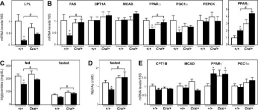 Dynein mutation reverts the systemic and molecular alterations associated with energy deficit in SOD1(G93A) mice. A- mRNA levels of lipoprotein lipase (LPL) in the epididimary white fat pad of wild type (+/+) and dynein mutant mice (Cra/+) bearing SOD1(G93A) transgene (SOD1m, black columns) or not (Wt, empty columns). *P < 0.05 versus Wt; #, p < 0.05 as indicated. Note that the SOD1(G93A)-associated decreased expression of LPL in the EPI is rescued by the dynein mutation in compound SOD1(G93A)/Cra mice. N = 9 mice per group. B- mRNA levels of fatty acid synthase (FAS), carnithine palmitoyl transferase 1A (liver form, CPT1A), Medium chain acyl CoA dehydrogenase (MCAD), peroxisome-proliferator activated receptor alpha (PPARα), peroxisome-proliferator activated receptor gamma co-activator 1 alpha (PGC1α), phosphoenolpyruvate carboxykinase (PEPCK) and peroxisome-proliferator activated receptor gamma (PPARγ) in the liver of the same mice than in A. *P < 0.05 versus Wt; #, p < 0.05 as indicated. Note that the SOD1(G93A)-associated decreased expression of FAS in the liver is rescued by the dynein mutation in compound SOD1(G93A)/Cra mice. N = 9 mice per group. C- Circulating triglycerides levels in the same mice than in A either in fed (right) or fasted conditions (left). Note that the SOD1(G93A) transgene leads to decreased fed triglycerides levels and that this is partially reverted in compound SOD1(G93A)/Cra mice. N = 9 mice per group. D- Circulating non-esterified fatty acids (NEFAs) levels in the same mice than in A in fasted conditions. Note that the SOD1(G93A) transgene leads to decreased fasted NEFAs levels and that this is fully reverted in compound SOD1(G93A)/Cra mice. N = 9 mice per group. E- mRNA levels of carnithine palmitoyl transferase 1B (muscle form, CPT1A), Medium chain acyl CoA dehydrogenase (MCAD), peroxisome-proliferator activated receptor gamma (PPARγ) and peroxisome-proliferator activated receptor gamma co-activator 1 alpha (PGC1α) in the gastrocnemius muscle of the same mice than in A. *P < 0.05 versus Wt. N = 9 mice per group.