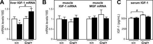Dynein mutation increases liver IGF-1 expression. A- mRNA levels of Insulin-like growth factor (IGF-1) in the liver of wild type (+/+) and dynein mutant mice (Cra/+) bearing SOD1(G93A) transgene (SOD1m, black columns) or not (Wt, empty columns) *P < 0.05 versus Wt; #, p < 0.05 as indicated. N = 9 mice per group. B- mRNA levels of Insulin-like growth factor (IGF-1) and its muscle specific splice variant mechano-growth factor (MGF) in the gastrocnemius muscle of wild type (+/+) and dynein mutant mice (Cra/+) bearing SOD1(G93A) transgene (SOD1m, black columns) or not (Wt, empty columns). N = 9 mice per group. C- Serum IGF-1 levels in wild type (+/+) and dynein mutant mice (Cra/+) bearing SOD1(G93A) transgene (SOD1m, black columns) or not (Wt, empty columns) #, p < 0.05 as indicated. Note that circulating IGF-1 levels are increased in dynein mutant mice and that this increase is abolished in compound SOD1(G93A)/Cra mice. N = 9 mice per group.