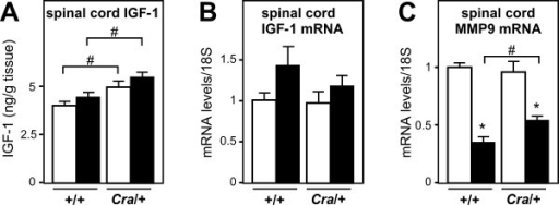 Dynein mutation increases potentially neuroprotective IGF-1. A- Spinal cord IGF-1 levels in wild type (+/+) and dynein mutant mice (Cra/+) bearing SOD1(G93A) transgene (SOD1m, black columns) or not (Wt, empty columns) #, p < 0.05 as indicated. Note that spinal cord IGF-1 levels are increased in dynein mutant mice and that this increase is stronger in compound SOD1(G93A)/Cra mice. N = 9 mice per group. B- mRNA levels of Insulin-like growth factor (IGF-1) in the spinal cord of wild type (+/+) and dynein mutant mice (Cra/+) bearing SOD1(G93A) transgene (SOD1m, black columns) or not (Wt, empty columns). N = 9 mice per group. C- mRNA levels of matrix metallo proteinase 9 (MMP9) in the spinal cord of wild type (+/+) and dynein mutant mice (Cra/+) bearing SOD1(G93A) transgene (SOD1m, black columns) or not (Wt, empty columns). *P < 0.05 versus Wt; #, p < 0.05 as indicated. N = 9 mice per group.