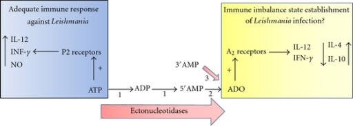 hydrolysis of atp versus the formation of anabolic products