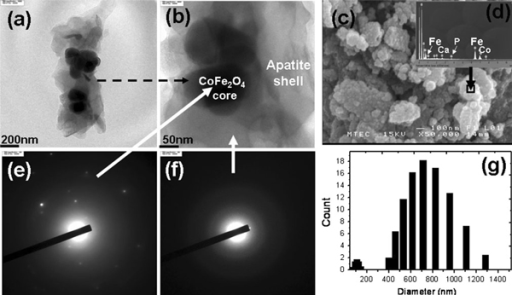 TEM image of core–shell structure of apatite (Ap)-coated citric acid–stabilized cobalt ferrite (CFCA-Ap) in low (a) and high-resolution field (b), and SEM image of CFCA-Ap particles (c). EDS analysis of the samples at the CFCA-Ap surface: Ca/P = 1.47 (d). Core–shell structure of CFCA-Ap particles corresponding electron diffraction patterns of core structure (e) and shell structure (f). g is size distribution of core–shell structure of CFCA-Ap.