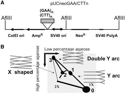 (A) The scheme of pUCneoGAA/CTTn plasmid. (GAA)n repeat was inserted in pUCneo in two orientations. Replication intermediates were digested by AflIII. The hybridization probe used in 2D gel analysis corresponded to the GAA repeat-containing AflIII fragment. (B) Schematic presentation of the 2D gel electrophoresis of mammalian replication intermediates digested with AflIII. Corresponding shapes of replication intermediates are shown in gray. Spot 0 – unreplicated AflIII fragment; spot 1 – replication stalling of the counterclockwise replication fork at GAA; spot 2 – replication stalling of the clockwise replication fork at GAA; spot 3 – two replication forks from opposite ends of the fragment stalled at the repeat. May also contain intermolecular complexes of two different fragments joined at the GAA repeat. A short stretch of the bubble arc was omitted from this scheme because it is obscured by unreplicated DNA spot in our 2D gel pictures.