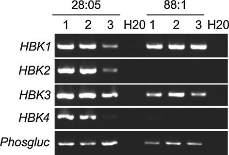 RT-PCR analysis of HBK1, HBK2, HBK3 and HBK4 expression in embryogenic cultures that were either competent to form fully mature cotyledonary embryos (28:05) or blocked at the PEM-to-embryo transition stage (88:1). Cell lines were sampled after 1 week of proliferation in the presence of PGRs (1), after 1 week in pre-maturation medium (2) and after 1 week on maturation medium (3). For cell line 28:05, these stages represent stages 1–3 in Fig. 1. The expression of PHOSPHOGLUCOMUTASE was used as a reference and H2O was used as a negative control in the RT-PCR analysis