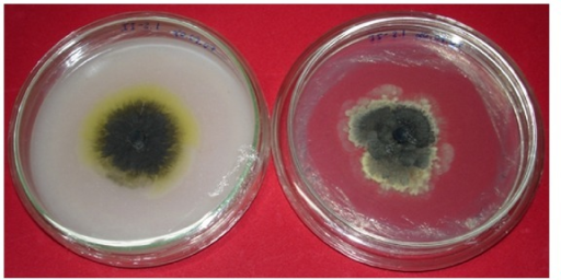 Aspects of G. citricarpa colony morphology in oatmeal medium (left), showing the yellow halo, characteristic for pathogenic isolates, and its aspect on PDA medium, without halo.