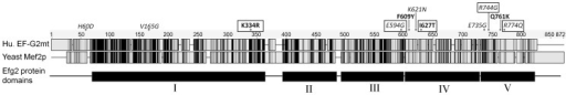 EF-G2mt protein variants.Alignment of the protein amino acid sequence of the human EF-G2mt protein with the yeast Mef2 protein. Dark shaded areas represent conserved amino acid residues and grey shaded areas represent semi-conserved residues. EF-G2mt SNPs that are semiconserved in yeast MEF2 are shown in italics and fully conserved SNPs are depicted in bold. The five alleles selected for functional characterisation are outlined. The five EF-G2mt protein domains are represented below the alignment. Global alignment of protein sequences was performed using Lalign and the BioEdit sequence alignment editor was used to generate the graphical representation.