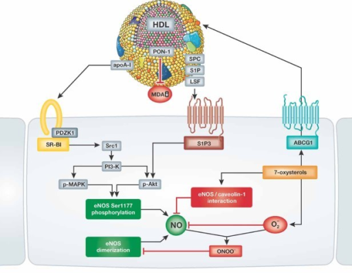 Signalling pathways mediating the effects of HDL on endothelial NO productionHDL has been shown to stimulate endothelial NO synthase phosphorylation at serine residue 1177 via binding of apoA-I to SR-BI and binding of HDL-associated lysophospholipids to the S1P3 receptor. In addition, HDL-mediated efflux of 7-oxysterols via endothelial ABCG-1 has been observed to inhibit the interaction between eNOS and caveolin, and to prevent the loss of eNOS dimerization induced by reactive oxygen species in the endothelium.