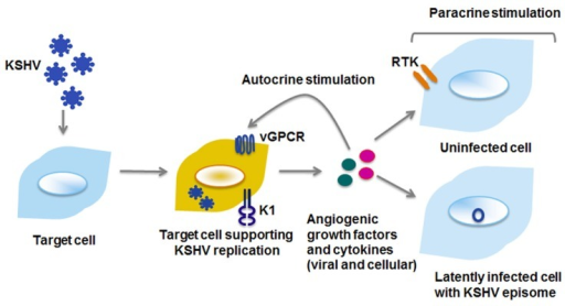 Viral proteins enhance cell proliferation by autocrine and paracrine mechanisms. Viral and cellular cytokines and growth factors can activate signaling pathways within the cell they are secreted from (autocrine), or on distant cells that may either be uninfected or latently infected with KSHV (paracrine). RTK, receptor tyrosine kinase.