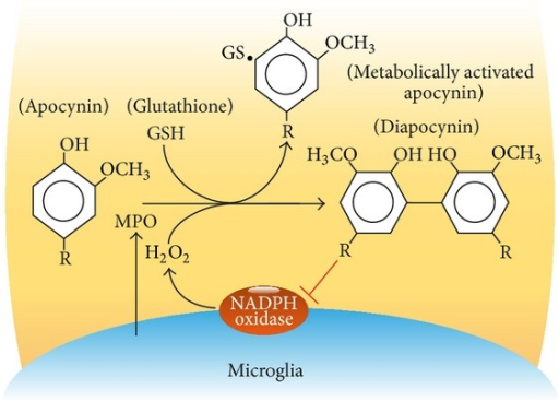 Inhibition of microglia Nox2 by metabolically activated apocynin. Receptor-mediated activation of microglia cells induces production of reactive oxygen species and release of myeloperoxidase (MPO). The MPO-catalyzed reaction of apocynin with H2O2 leads to production of a reactive intermediate that stabilizes by binding to free thiol groups, for example, GSH, or by dimerization. Dimeric apocynin (diapocynin) inhibits Nox2 activity.