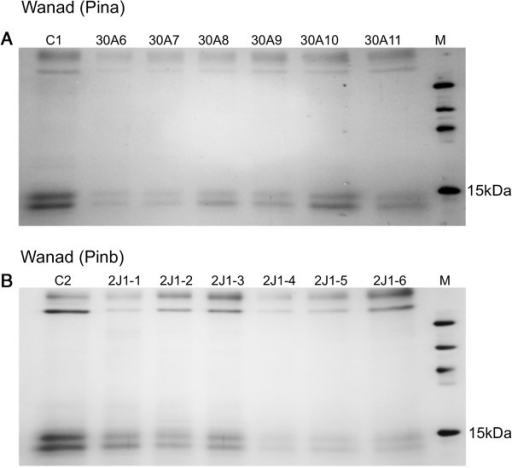 SDS-PAGE fractionation of mature seed starch-associated proteins isolated from water washed starch from T1 progeny of 30A line transformed with (Pina) (A) and T2 progeny of 2 J1 line transformed with (Pinb): (B) C1, C2 – control lines from T1 and T2 generations transformed with the empty pMCG161 vector; M – molecular weight marker.
