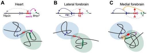 Structural partitioning controls enhancer-target gene allocation and modulates enhancers' effective activity on target genes.Genes and enhancers are shown as rectangles and ovals, respectively. Active promoters and enhancers are marked with arrows and plain colors. The TZ organizes the locus into two distinct, partially overlapping spatial conformations (represented by light blue and green circles), where genes and enhancers can interact. In the heart (A) and forebrain (B), this situation prevents action of one enhancer on a gene in the other domain. In the lateral forebrain, enhancers adjacent to FB1 may contribute to Tfap2c expression. In the medial forebrain (C), the active Bmp7 promoter may compete, non productively, for the forebrain enhancer, and interferes (marked by a yellow oval) with its action on Tfap2c. The TZ may control the strength and therefore the consequences of this interference on Tfap2c expression.