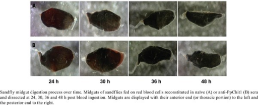 Sandfly midgut digestion process over time. Midguts of sandflies fed onred blood cells reconstituted in naïve (A) or anti-PpChit1 (B) sera anddissected at 24, 30, 36 and 48 h post blood ingestion. Midguts are displayedwith their anterior end (or thoracic portion) to the left and the posteriorend to the right.