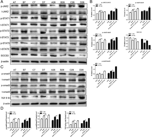 The expression of JAK/STAT and TGF-β/Smad signaling pathway-related proteins in the lung tissues of the different groups on days 7 and 28. A. Western blots of JAK/STAT signaling pathway-related proteins: JAK, STAT1, STAT3, STAT5, SOCS3, and phosphorylated STAT1, STAT3, and STAT5. B. A histogram of the relative gray values shown in A. C. Western blots for the TGF-β/Smad signaling pathway-related proteins: Smad1, Smad3, TGF-βR1 and phosphorylated Smad1 and Smad3. D. A histogram of the relative gray values shown in C. Data are expressed as means ± SEM (n = 3). *p < 0.05, **p < 0.01.