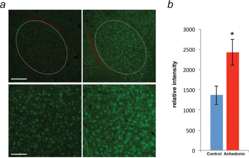 Alterations of CLOCK protein expression in the basolateral amygdala (BLA) of anhedonic mice. (a) Representative immunofluorescence images of CLOCK protein expression in the BLA of control (left) and anhedonic (right) mice during late day-dusk (Zeitgeber Time [ZT]12). The 30-μm amygdala coronal sections were stained with CLOCK antibody (green) and red Fluoro Myelin (red). Dotted white lines indicate the areas analyzed in each tissue section. Scale bar: upper 200 μm, lower 100 μm. (b) Quantification of relative intensities of CLOCK protein expression in the BLA of control (n=6; blue) and anhedonic (n=7; red) mice at ZT12. Data are displayed as mean ± SEM, * P<.05.