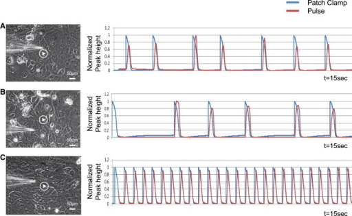 Overlay of Beating Signals Derived from Pulse and Patch ClampPatch-clamping data and video were collected concurrently. Motion-analysis-derived and electrophysiologically generated traces for three independent cell cultures (A–C) with varying frequency and irregularity are overlaid, showing similar results.