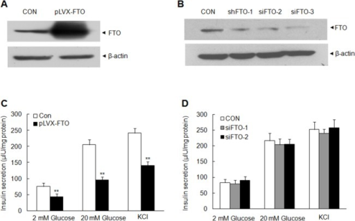 The effect of FTO expression on insulin secretion.(A) FTO overexpression in MIN6 cells via lentivirus delivery using Western blot. β-actin was loaded as an internal control. (B) Detection of FTO in MIN6 cells transfected with FTO shRNA and control shRNA. β-actin was loaded as an internal control. (C) Insulin secretion of MIN6 cells with FTO overexpression at 60 min after 2 mM, 20 mM glucose or 50 mM KCl stimulation. MIN6 cells were stably transfected with pLVX-IRES-ZsGreen (CON) or pLVX-IRES-ZsGreen-FTO (pLVX-FTO). (D) Effect of FTO silence on the insulin secretion in MIN6 cells. MIN6 cells transfected with FTO shRNA 2 or shRNA 3 were analyzed with insulin secretion at 60 min after the glucose or KCl stimulation. Data were presented as mean ± SD. The symbol ** denotes significant statistical difference (p < 0.01).