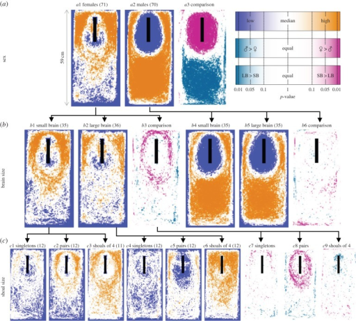 Overview of positional data during trials with a model predator, presented as statistical heat maps. First row (a) shows the overall result of each sex, second row (b) splits this up per brain size, and the third row (c) divides the brain size results for females up into the different shoal sizes. Each cell (pixel) in the heat maps shows the p-value of a non-parametric test. In the orange and blue maps, we tested against the median density to visualize the areas of the tanks that were visited more or less than expected. The pink and green maps show the statistical comparison between groups; i.e. males and females or small- and large-brained individuals. Black rectangles indicate predator position. Numbers between parentheses denote sample sizes. Note the nonlinear axis in the legend.