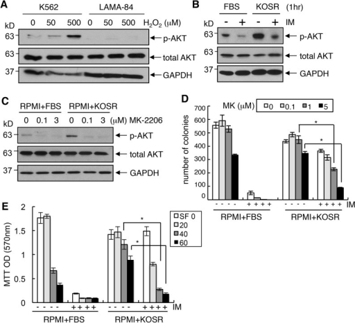 Combined inhibition of BCR-ABL and AKT overcame the protective effect of KOSR.(A) Induction of p-AKT at 1 hour after treatment of cells with the indicated concentrations of H2O2. The levels of p-AKT (Ser473) and total AKT were determined by western blotting. (B) Rapid Induction of p-AKT upon media switch. K562 cells were cultured in the regular or KOSR ±1 μM of imatinib for 1 hour. (C) AKT-PH-domain inhibitor MK2206 blocked p-AKT increase. K562 cells were pre-treated with 0, 0.1 or 3 μM of MK2206 in the regular media for 24 hours, then re-plated either in the regular or the KOSR media with the same doses of MK2206 used as in pre-treatments. The levels of p-AKT (Ser473) and total AKT were determined by western blotting. (D) Overcoming imatinib-resistance with AKT-PH-domain inhibitor MK2206. K562 cells were pre-treated with MK2206 (0, 0.1, 1, 5 μM) in the regular media. After 24 hours, cells were re-plated in the regular or the KOSR media with indicated doses of MK2206 ± imatinib (1 μM). Survival was measured by clonogenic assay. The values are means ± SEM (n = 6). *, p<0.05. (E) Overcoming imatinib-resistance with PI3 kinase inhibitor, SF1126. K562 cells were pre-treated with SF1126 (0, 20, 40, 60 μM) in the regular media. After 24 hours, cells were re-plated in the regular or the KOSR media with indicated doses of SF1126 ± 1 μM of imatinib. MTT assay was performed after 3 days to determine the relative cell number. The values are means ± SEM (n = 8). *, p<0.05.